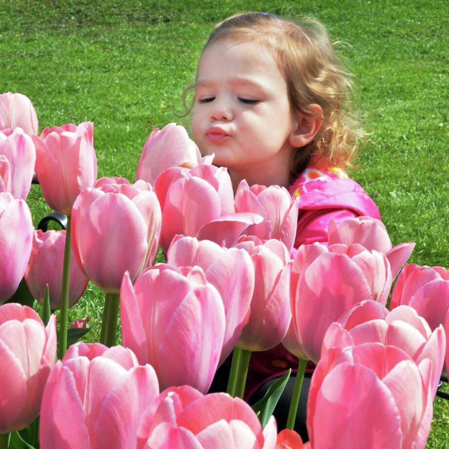 Sophia Rouse, 2, of Gansevoort gets  a close-up smell as she takes in a preview of this weekend's Tulip Festival at Washington Park Thursday May 8, 2014, in Albany, NY.  (John Carl D'Annibale / Times Union) Photo: John Carl D'Annibale