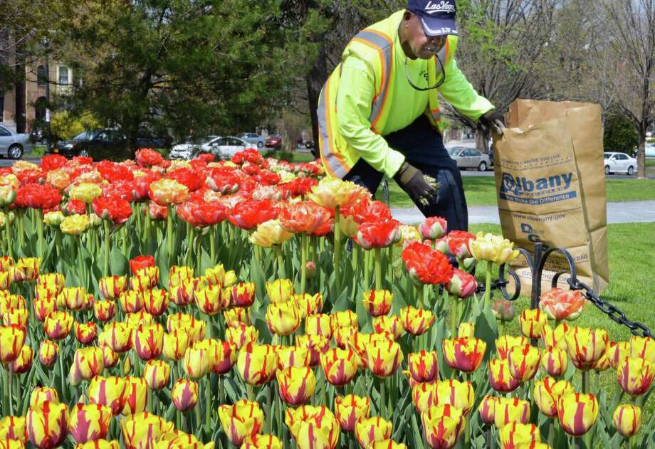 Washington Park garden crew's Douglas Clark does some last minute weeding of tulip beds before this weekend's Tulip Festival Thursday May 8, 2014, in Albany, NY.  (John Carl D'Annibale / Times Union) Photo: John Carl D'Annibale