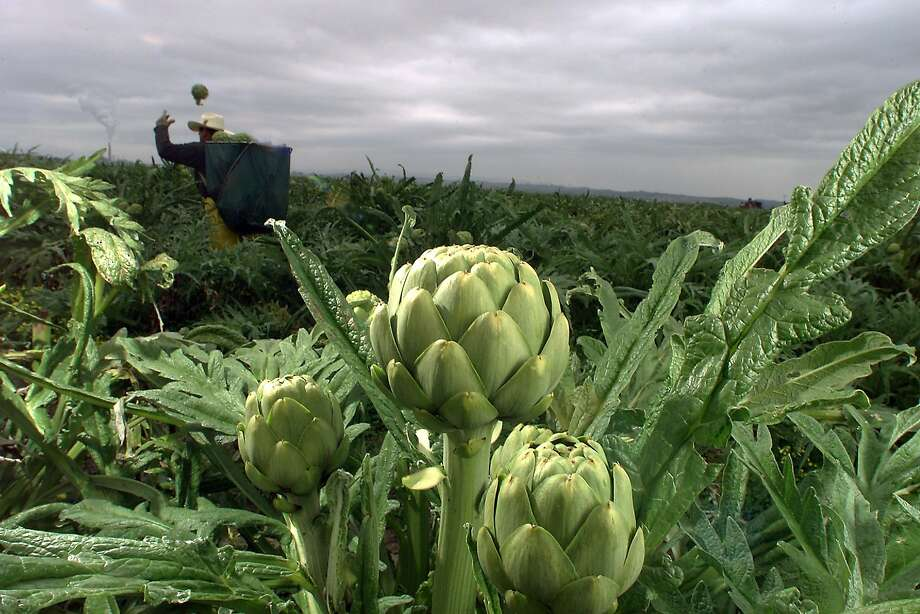 "The ""Artichoke Capital of the World"" is moving its annual festival Photo: Eric Luse, SFC"