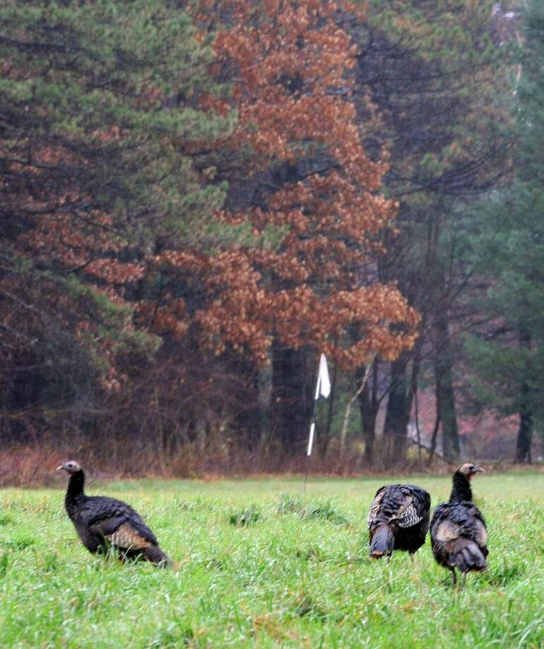 Wild turkeys graze near a practice golf green on a residents property on Wednesday, Nov. 27, 2013 in Loudonville, N.Y. (Lori Van Buren / Times Union) Photo: Lori Van Buren