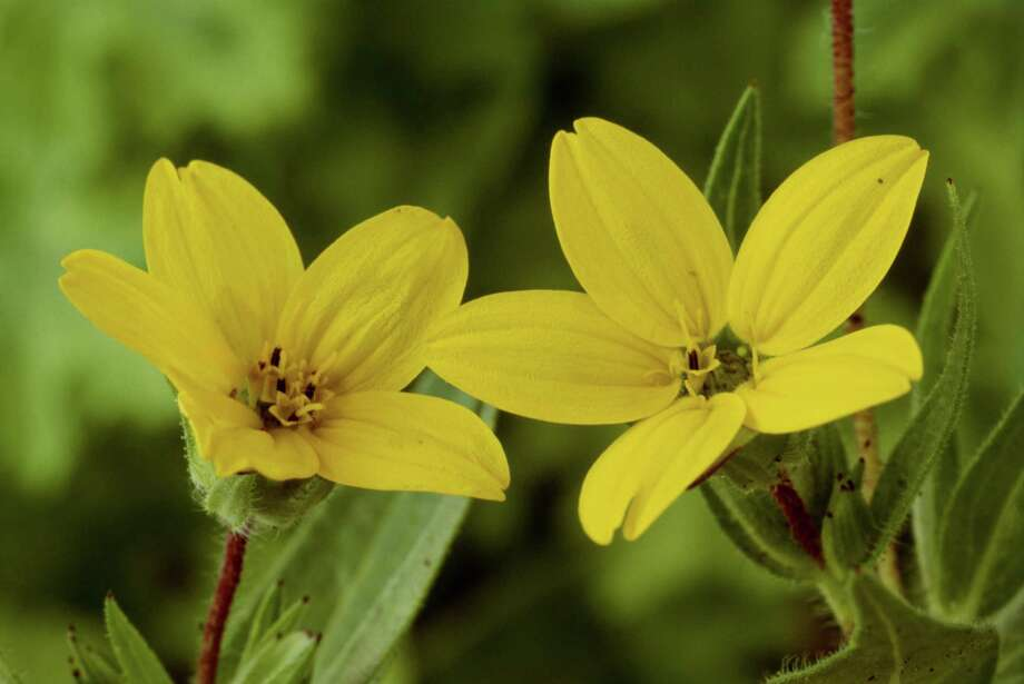 Texas yellow star (Lindheimera texana) was identified by botanist Ferdinand Lindheimer, a German immigrant who settled in New Braunfels. Photo: Chris Burrows, Getty Images / (c) Chris Burrows