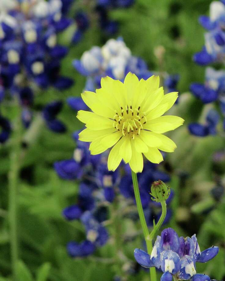 Bright yellow Texas dandelions often pop up among bluebonnets and other wildflowers. Photo: Tracy Hobson Lehmann, San Antonio Express-News / San Antonio Express-News