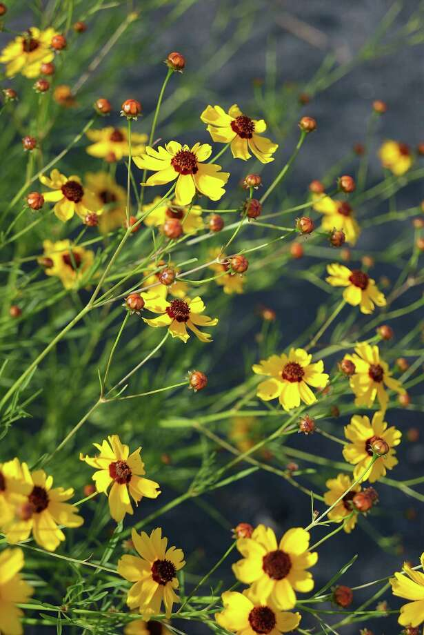 Golden-wave coreopsis, also called tickseed and plains coreopsis, has red tips where the ray flowers emerge from the center. Photo: Courtesy Bob Fitsimmons