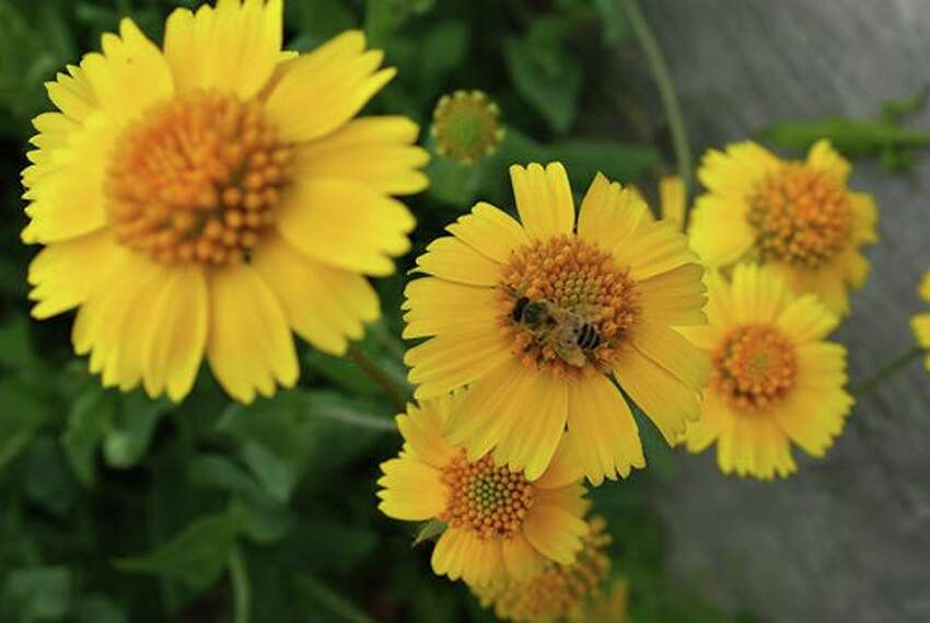 Huisache daisy is distinguished by the three or four lobes on the ends of each ray flower.