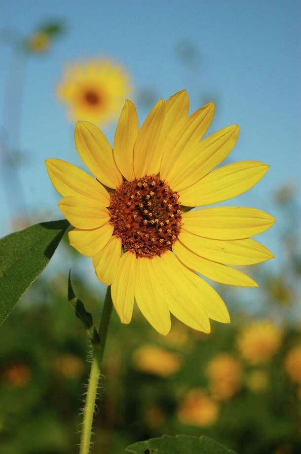 Maximilian sunflowers look much like common sunflowers, but the ray flowers are more spread out than those on the common sunflower. Photo: Courtesy Bob Fitzsimmons