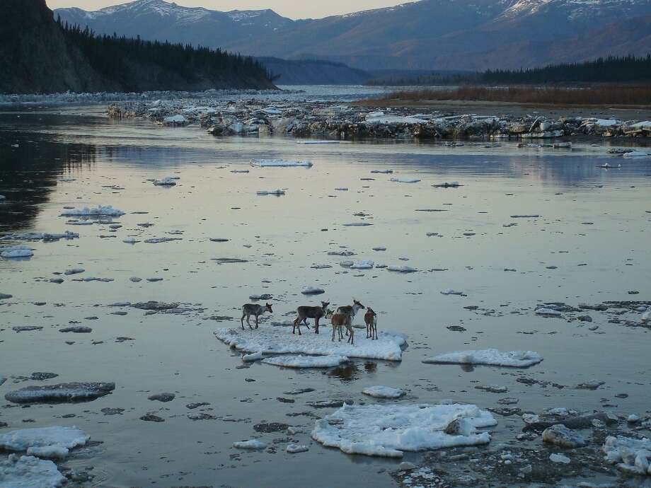 How was I to know it was going to break off with us on it? Caribou ride on an ice floe 