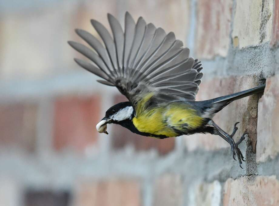 The avian equivalent of changing diapers: A great tit carries the excrement of its 