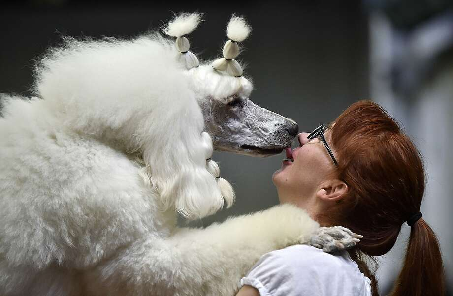 When Farinelli the poodle wants a kiss, it's difficult to say no. (Dog show in Dortmund, 