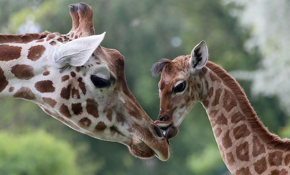 Now be a good girl and kiss your aunt: Nine-day-old Bine licks the nose of its Aunt Andrea at Friedrichsfelde Zoo in Berlin.