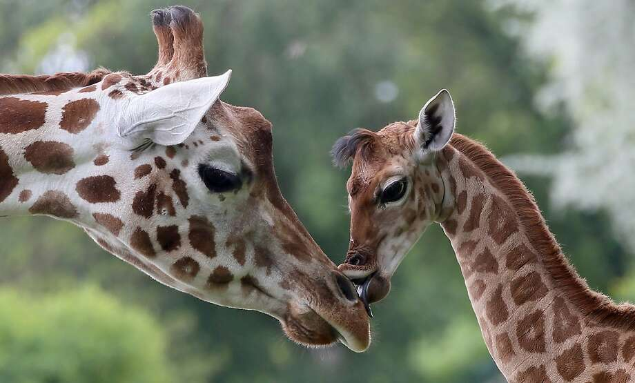 Nine-day-old giraffe Bine licks the nose of its giraffe aunt Andrea at Friedrichsfelde Zoo in Berlin,Germany, Friday, May 9, 2014. The baby giraffe was born on 30 April during opening hours and numerous visitors were able to watch the birth.(AP Photo/dpa, Stephanie Pilick) Photo: Stephanie Pilick, Associated Press
