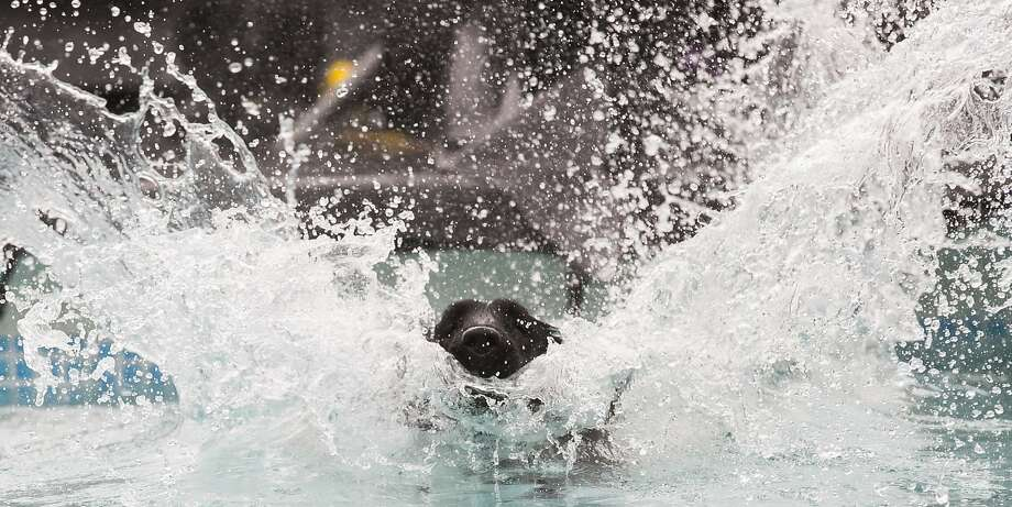 """Deyla the Deluge:Deyla the Lab does a belly flop during a dog-diving event at the """"Hund & Katz"""" pets fair in Dortmund, Germany. Photo: Marcus Simaitis, AFP/Getty Images"""
