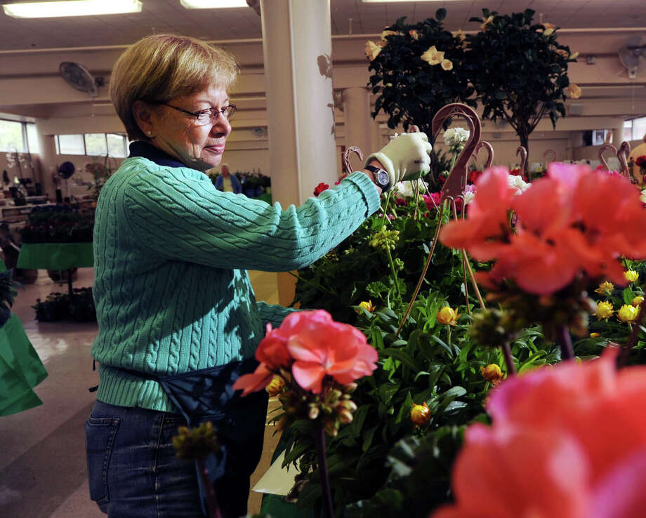 Tommie Bulger, president of the Garden Club of Old Greenwich, arranges Geraniums at the Greenwich Civic Center, Friday afternoon, May 9, 2014. Bulger was helping to set-up for the club's plant sale that she said takes place at the civic center Saturday from 8 a.m. to 2 p.m. Photo: Bob Luckey / Greenwich Time