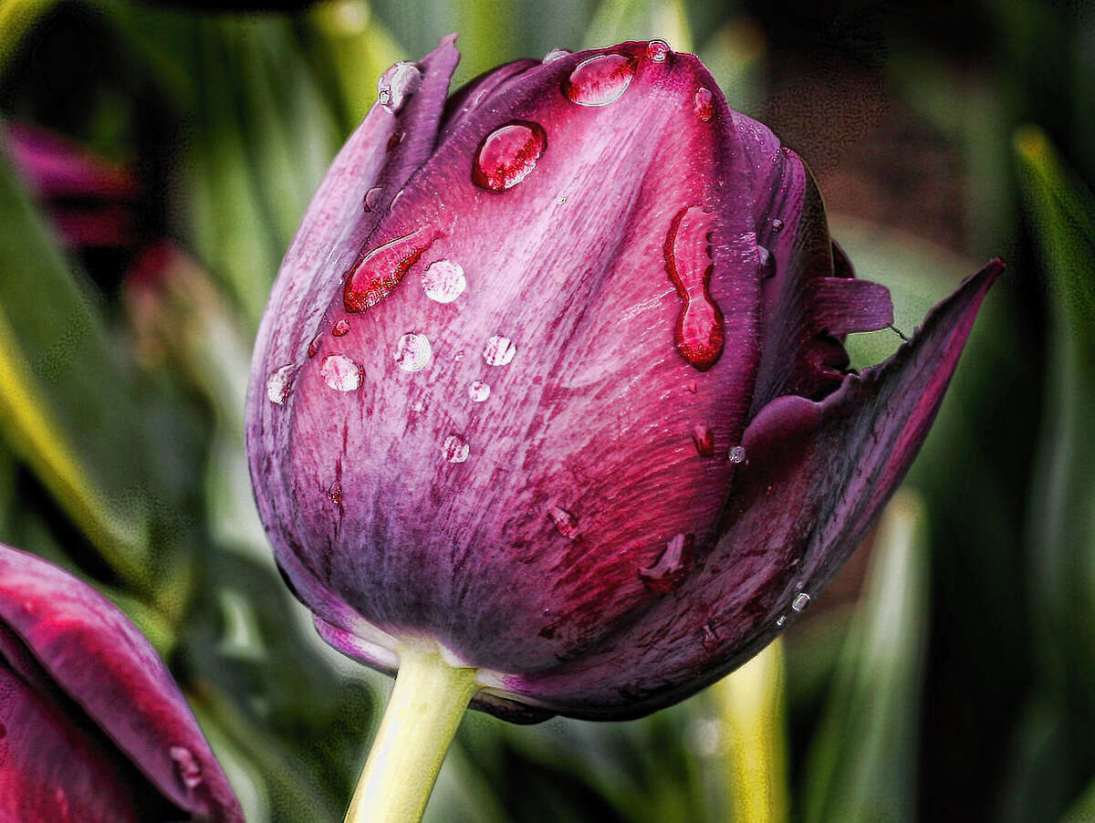 Bulbs and Blooms Tulip Fest photo contest