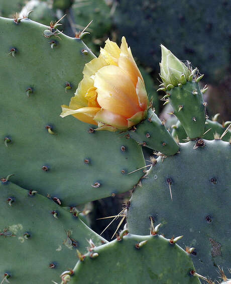 Try growing prickly pear in large containers. Photo: Express-News File Photo / SAN ANTONIO EXPRESS-NEWS