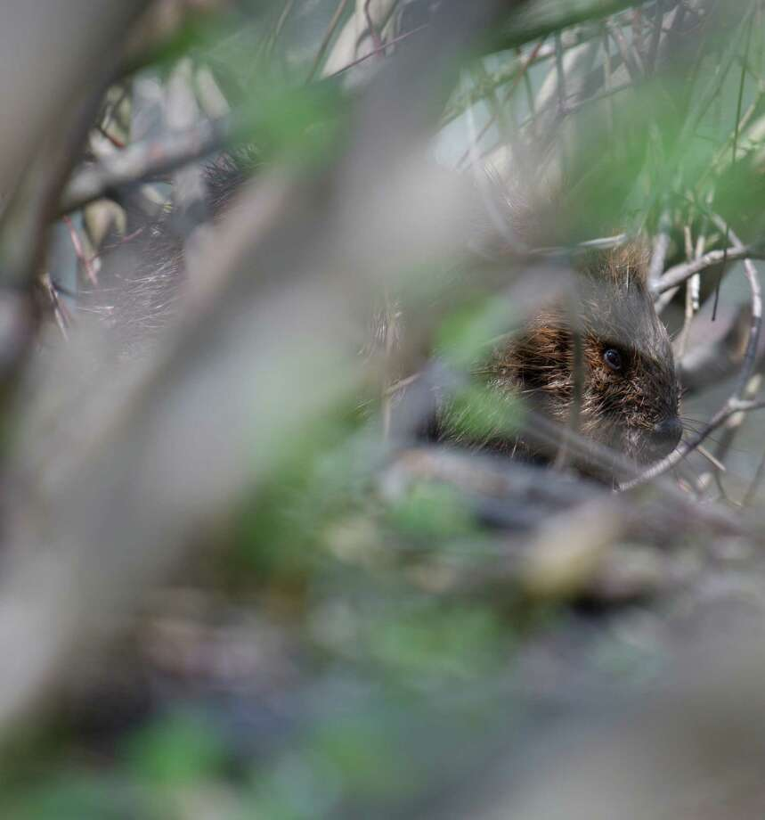 A beaver among the brush on the edge of Rogers Park Pond, in Danbury, Conn. It has cut down numerous trees that surround the pond, and built a lodge along the edge of the pond, in Rogers Park. Saturday, May 10, 2014. Photo: H John Voorhees III / The News-Times Freelance