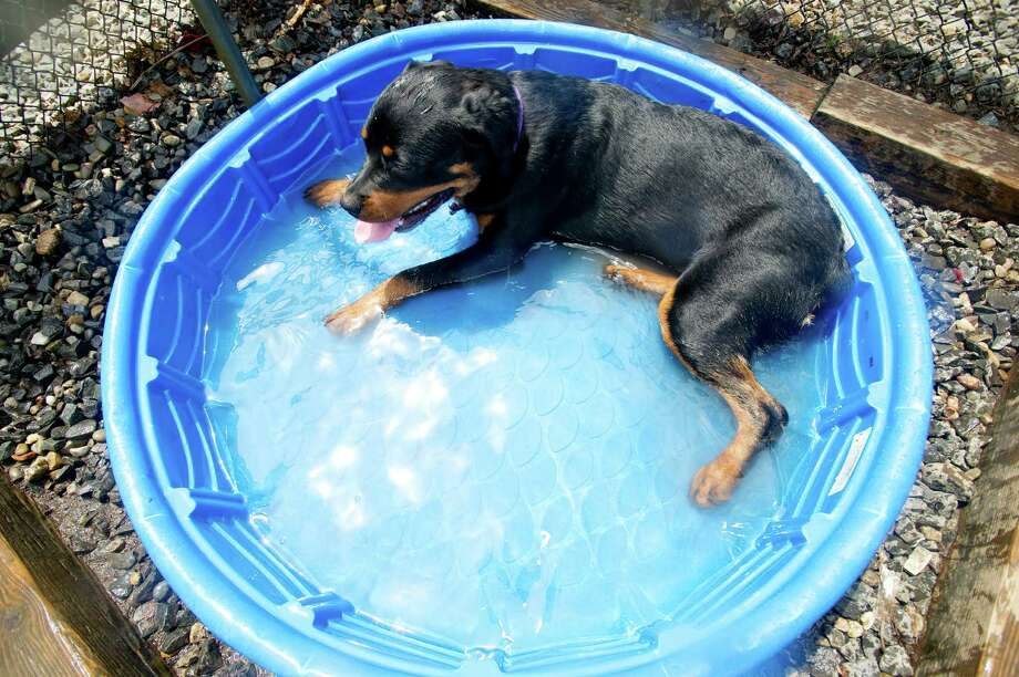 Coco takes a dip in the pool at the Stamford Dog Park on Saturday, May 10, 2014, the 5-year anniversary of the park. Photo: Lindsay Perry / Stamford Advocate