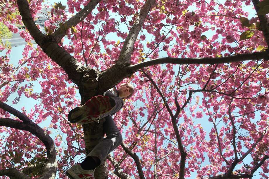 Harry Graney Green, 11, of Fairfield climbs a crab apple tree in Southport on Sunday, May 11, 2014. Photo: BK Angeletti, B.K. Angeletti / Connecticut Post freelance B.K. Angeletti