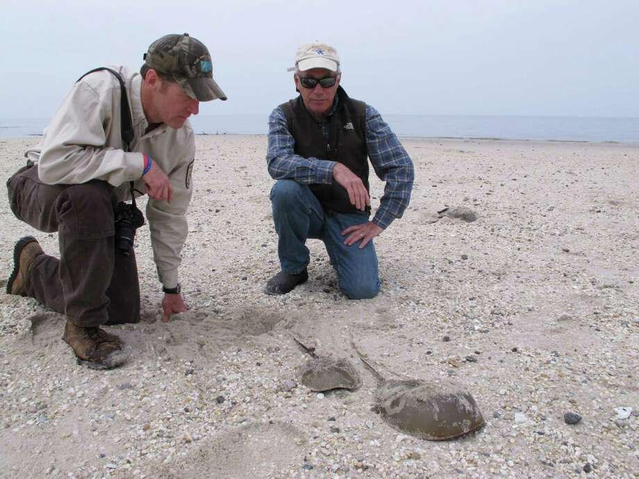 In this May 8, 2014 photo, Eric Schrading, an official with the U.S. Fish and Wildlife AService (left), and Larry Niles, a wildlife biologist (right) watch as two horseshoe crabs head back toward the water after mating  on a beach in Middle Township N.J.  A year-long project to replenish five Delaware Bay beaches that are vital to the continued survival of horseshoe crabs and the red knot, an endangered shorebird has been completed just in time for the second summer after Superstorm Sandy, which severely eroded the beaches and wrecked habitat for the animals. Photo: Wayne Parry, AP  / AP