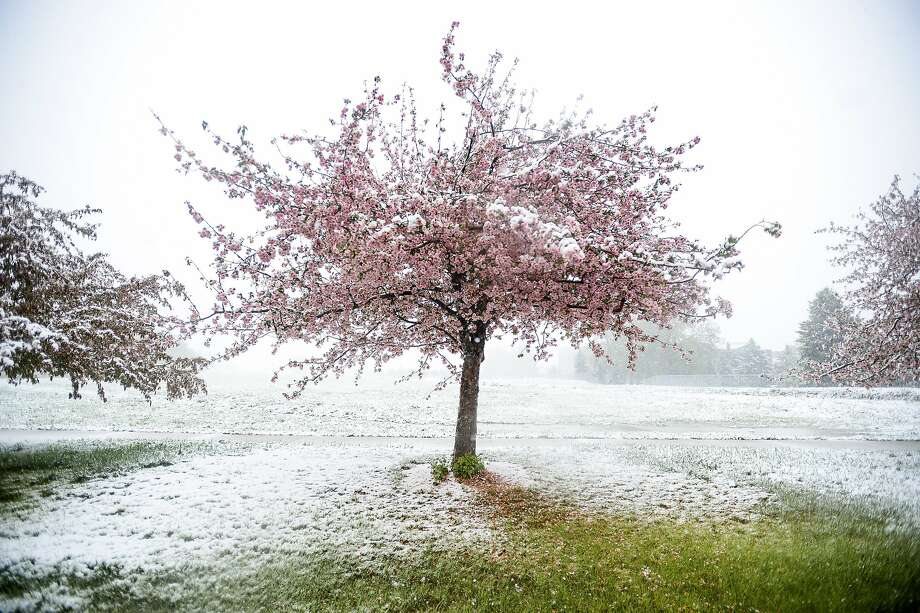 Spring snow continues to fall across the Fort Collins, Colo. region Sunday, May 11, 2014. (AP Photo/The Coloradoan, Erin Hull) Photo: Erin Hull, Associated Press