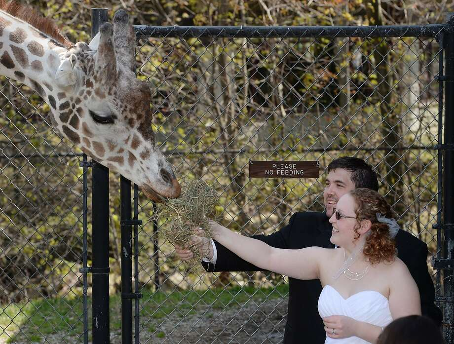PLEASE NO FEEDING: Except for newlyweds.  The Erie (Pa.) Zoo allowed Andrew and Rebecca Viancourt, a couple from Ashtabula, Ohio, who both love animals, to marry at the zoo and treat Mitch the giraffe to some alfalfa. Photo: Greg Wohlford, Associated Press