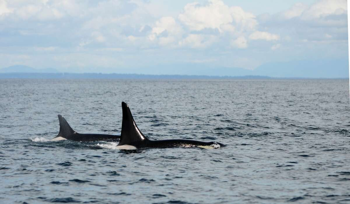 Photo and caption information by Simon Pidcock Ocean EcoVentures Whale Watching from Cowichan Bay B.C. Granny or J2 (born 1911) is the whale on the left side. The other whale Granny is traveling with is L87 Onyx (born 1992). We were with them on Friday, May 9, in the Southern Strait of Georgia mid-way between Point Roberts and East Point on Saturna Island in Canadian waters.