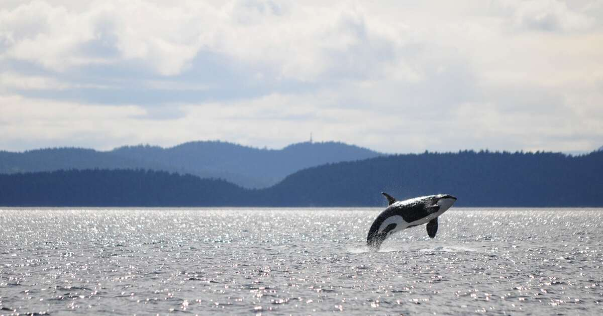 """Photo and caption information by Simon Pidcock Ocean EcoVentures Whale Watching from Cowichan Bay B.C. A member of J Pod, a family of 25 endangered Southern Resident killer whales. """"We were with them on Friday, May 9, in the Southern Strait of Georgia mid-way between Point Roberts and East Point on Saturna Island in Canadian waters,"""" Pidcock said. These waters would experience a seven fold increase in oil tanker traffic if the Trans Mountain Pipeline expansion in Canada goes through."""