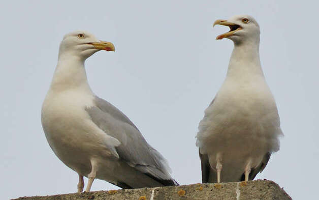 """A website reader from London, England, sent in this photo of a devoted husband and wife in the world of herring gulls. The image was taken in the city district known as Saint John's Wood. Marijhaa Andre took the  image from a fourth floor balcony with a direct view of the chimneys and roofs of the buildings opposite. """"The gulls live on top of our buildings and every year we get to see them, especially during spring/summer. People often think it's quite unusual to have herring gulls in the middle of the city that is nowhere close to the sea, but in our area we have as many gulls as we do pigeons. Love them, clever big birds with heaps of personality and an outstanding memory!"""" Andre says. (Marijhaa Andre)"""