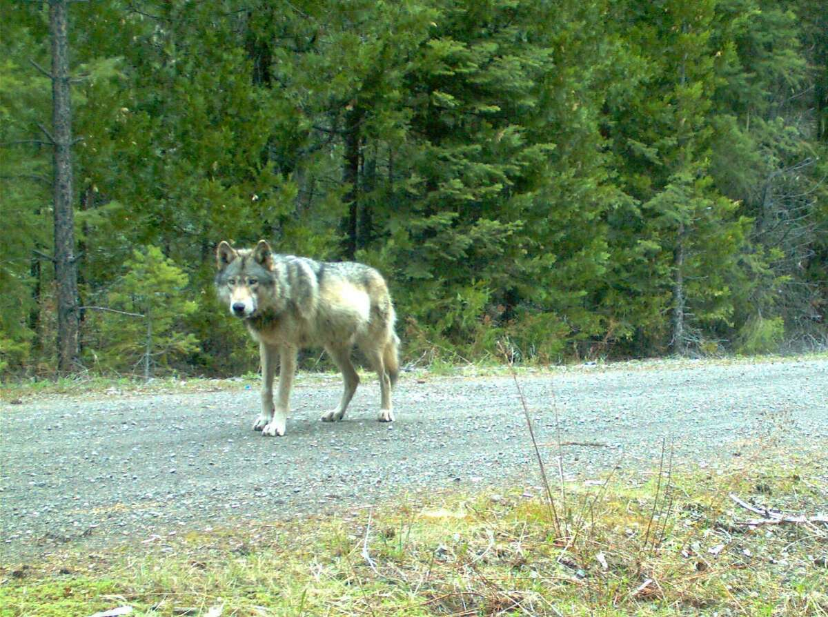 Remote camera photo of OR7 captured on 5/3/2014 in eastern Jackson County on USFS land. Photo courtesy of USFWS.