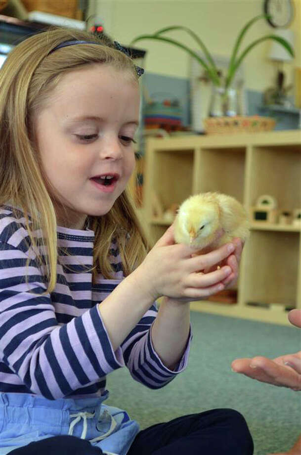 After watching the incubator for 21 days, New Canaan Country School student Ceci Calia meets one of 16 chicks hatched in her preschool classroom. Photo: Contributed Photo, Contributed / New Canaan News Contributed