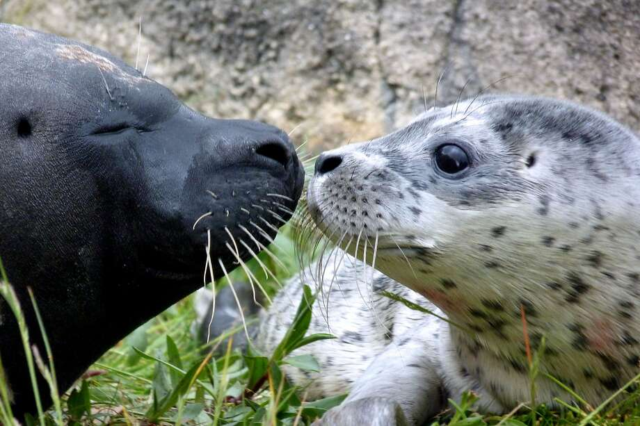 They both have compelling whiskers: Boudewijn Seapark Animal Park in Brugges, Belgium, has named its newborn baby seal (right)  after a bearded transvestite singer. Little Conchita shares the same name as the 2014 Eurovision Song Contest Conchita Wurst. While the zoo believes Conchita to be female, should the pup turn out to be a male, it will be named Conchito. Photo: Boudewijn Seapark, AFP/Getty Images