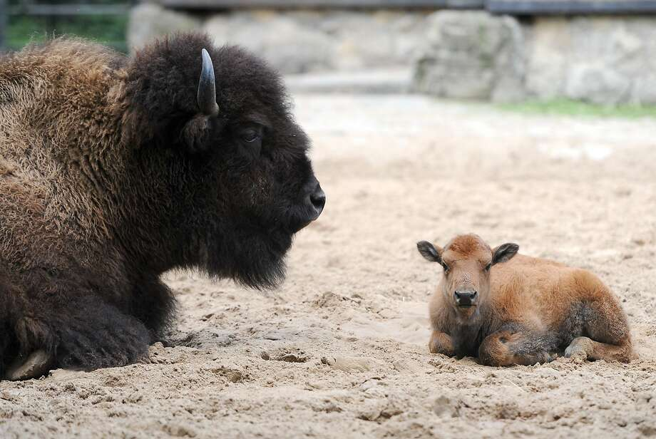 Buffalo mild things: Bison and baby bison doing very little at the Zoologischer Garten zoo in Berlin. Photo: Britta Pedersen, AFP/Getty Images