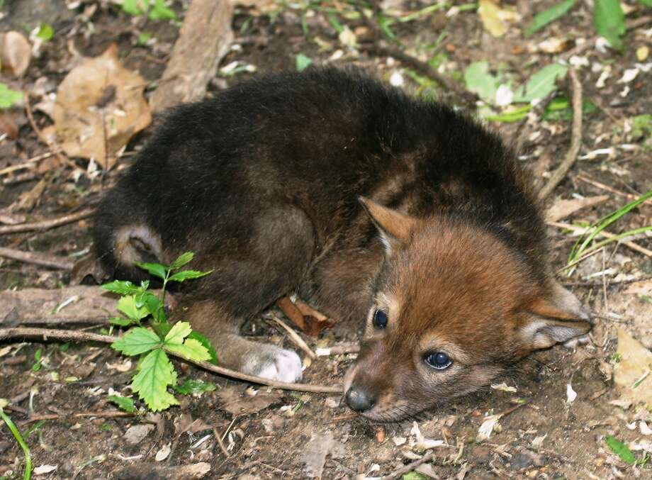"More like 'curled-up-in-a-ball wolf':Nashoba Hikiya, a red wolf pup whose name means ""standing wolf"" in Chocktaw, lies on the ground at the zoo in Jackson, Miss. She was among a litter of eight born March 30 at the zoo. Photo: Jackson Zoo, Associated Press"