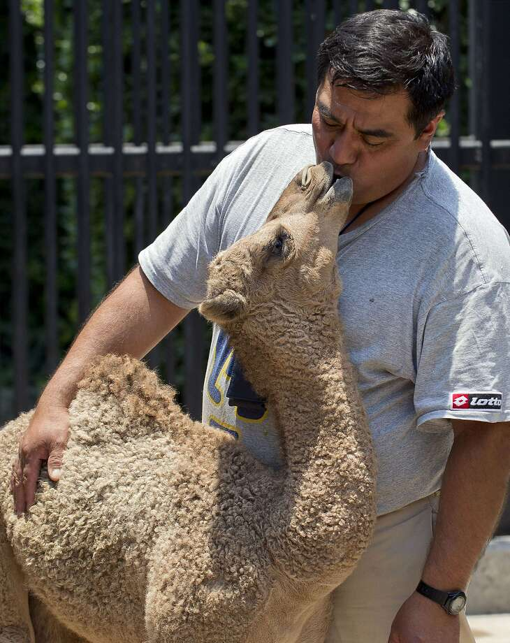 Have you kissed your camel today? The Chapultepec Zoo's baby dromedary obviously is fond of zookeeper Jorge Maravilla. (Mexico City.) Photo: Alfredo Estrella, AFP/Getty Images