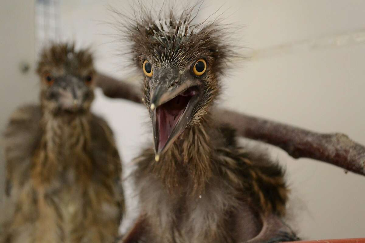 Baby black-crowned night herons recuperate at the International Bird Rescue center in Fairfield, California, after they were rousted from their rookery when the U.S. Postal Service had trees trimmed in downtown Oakland last week.