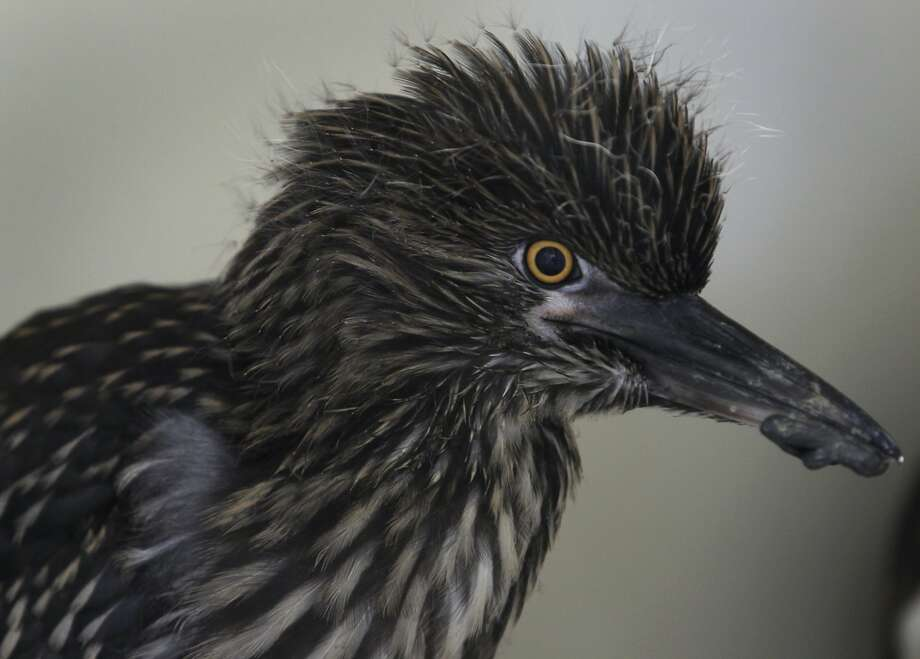 One of the birds rescued from the tree-trimming incident, a black-crowned night heron, recuperates at the International Bird Rescue in Fairfield. Photo: Paul Chinn, The Chronicle