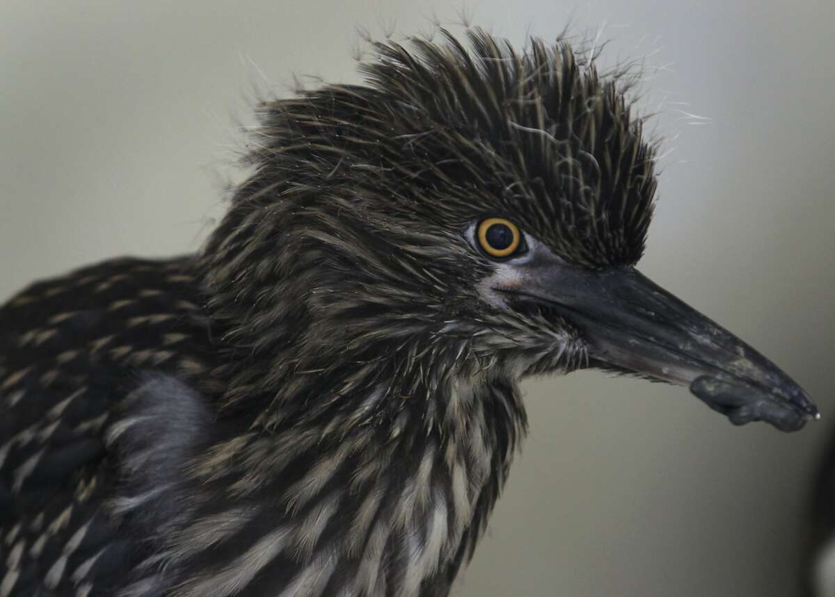 A young black-crowned night heron recuperates at the International Bird Rescue center in Fairfield, Calif. on Tuesday, May 6, 2014. Five herons, less than a month old, arrived at the center on May 4, after they were rousted from their rookery when the U.S. Postal Service had trees trimmed in downtown Oakland last week.