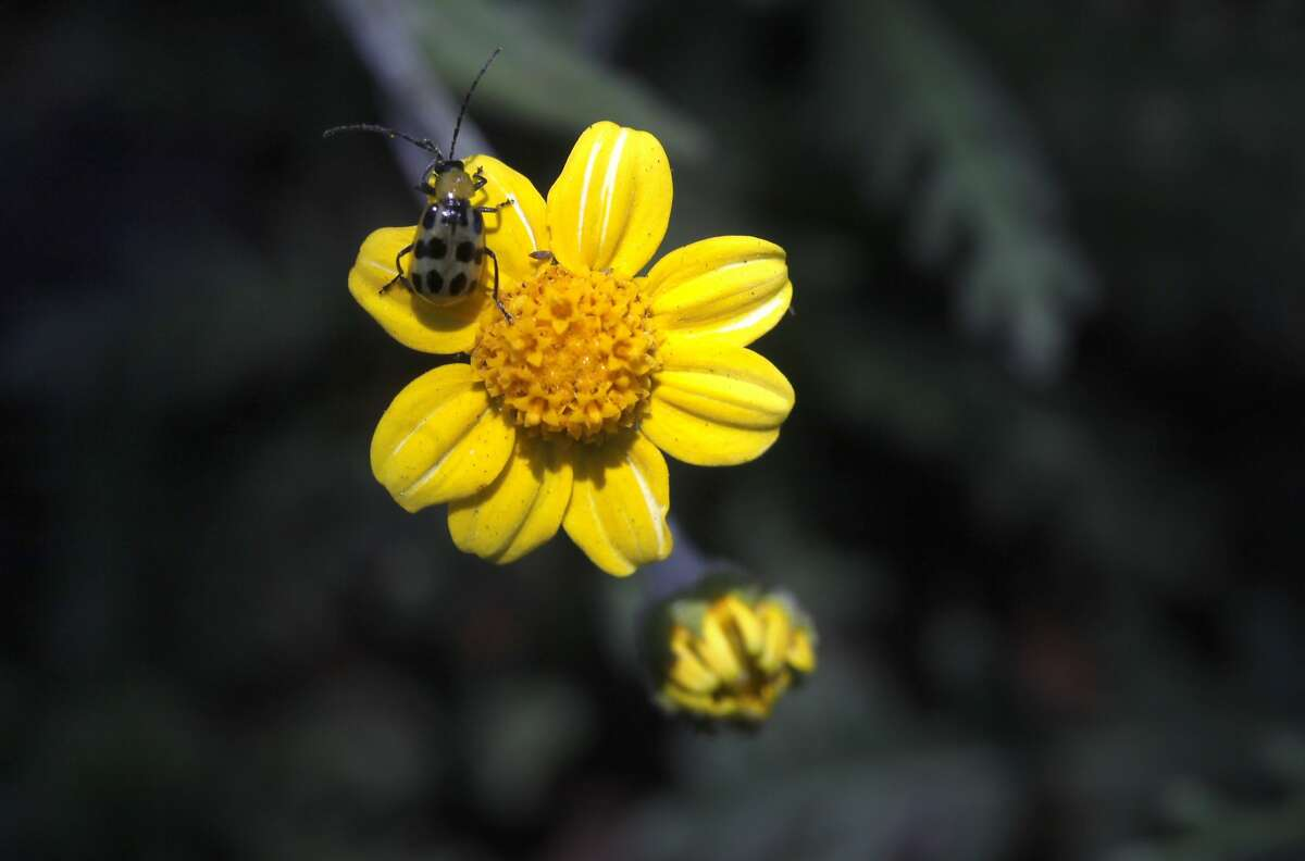 Tarweed is one of the rare fire followers left behind from the last summers fire in Mt. Diablo, Monday May 12, 2014, in Danville, Calif. These wild flowers known as the fire followers are stimulated by the smoke will survive for two years and not be seen again until the next fire.