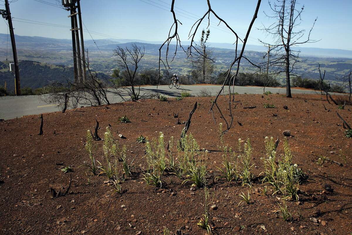 Bicyclist ride past the poison garlic, which is one of the fire follower plants, along Mt. Diablo, Monday May 12, 2014, in Danville, Calif. These flowers are blooming now as a result of the last summers blazing fire. These wild flowers are stimulated by the smoke and will survive for two year and not be seen again until the next fire. These wild flowers known as the fire followers are stimulated by the smoke will survive for two year and not be seen again until the next fire.
