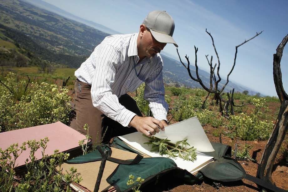 Botanist Heath Bartosh presses a chaparral blazing star on Mount Diablo, where last summer's devastating wildfire provided a comeback opportunity for wildflowers that haven't been seen in almost half a century. Photo: Lacy Atkins, SFC