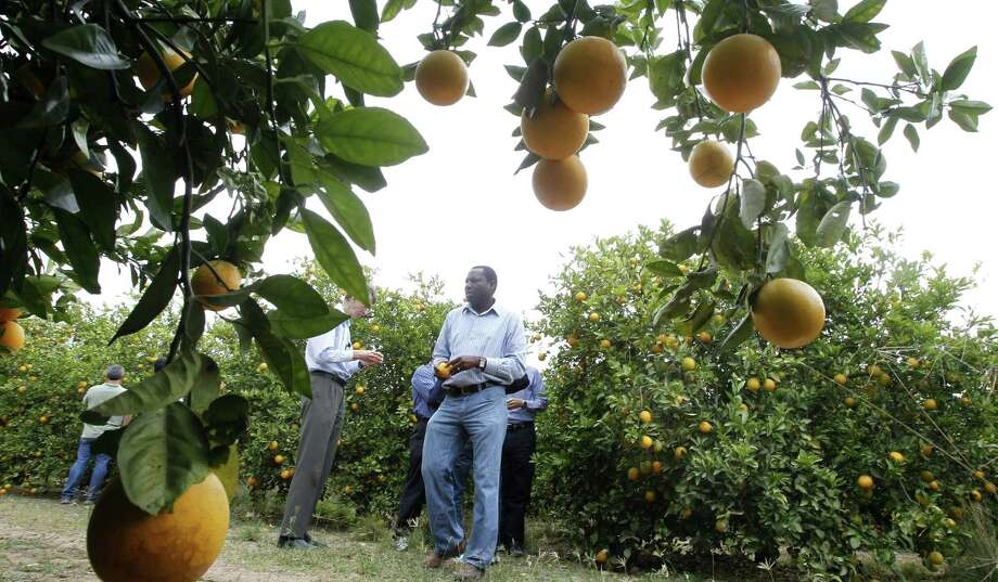 The USDA is allocating $1.5 million to step up a program that uses wasps to combat a disease called citrus greening that's also known as huanglongbing. Photo: McAllen Monitor / File Photo / The Monitor