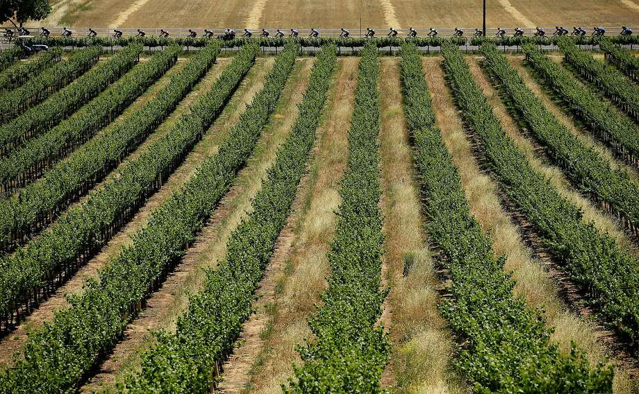 The peloton rides past a vineyard during stage three of the the 2014 Amgen Tour of California from San Jose to Mount Diablo on May 13, 2014 in San Jose. Photo: Ezra Shaw, Getty Images