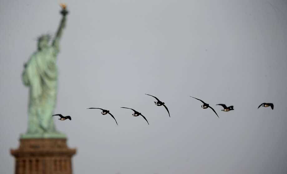 Meanwhile in New York,Canada geese fly by the real McCoy. Photo: Associated Press