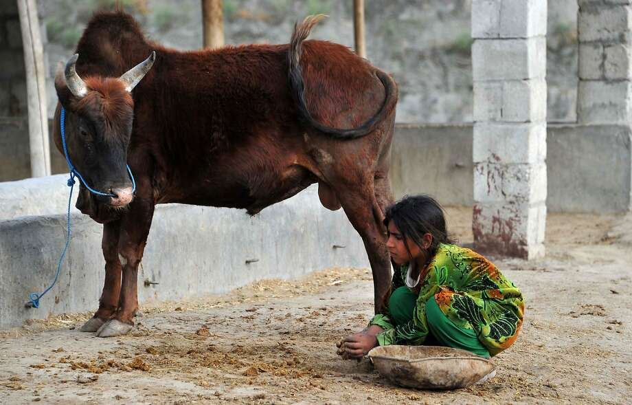 Cow pie collector:A bovine looks at Sahra as the 11-year-old Afghan girl gathers its dung so it can be shaped into cakes, dried and sold as fuel briquets at an   animal market outside Jalalabad. Photo: Noorullah Shirzada, AFP/Getty Images