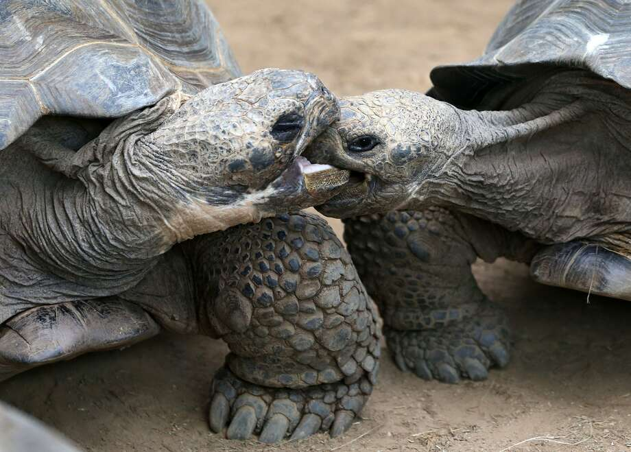 "Leggo my nose! Oh, to be 140 again - I'd teach this whippersnapper a thing or two. (Two Galapagos giant tortoises at the Rostock Zoo's ""Darwineum"" exhibit in Rostock, Germany.) Photo: Bernd Wuestneck, AFP/Getty Images"