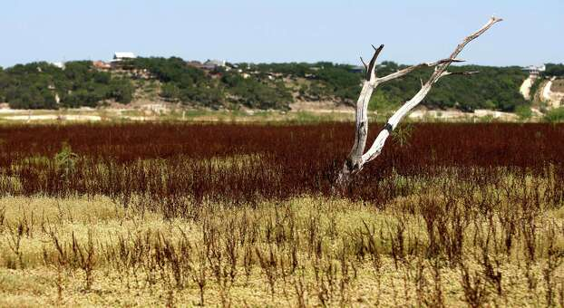 A long-dead, normally-submerged tree on what is the Medina Lake lakebed is seen Thursday Aug. 2, 2012 surrounded by grass land. The Texas Water Development Board's website reports the lake is 59.59 feet low and is currently only 16.09 percent full. Photo: William Luther, San Antonio Express-News / © 2012 San Antonio Express-News