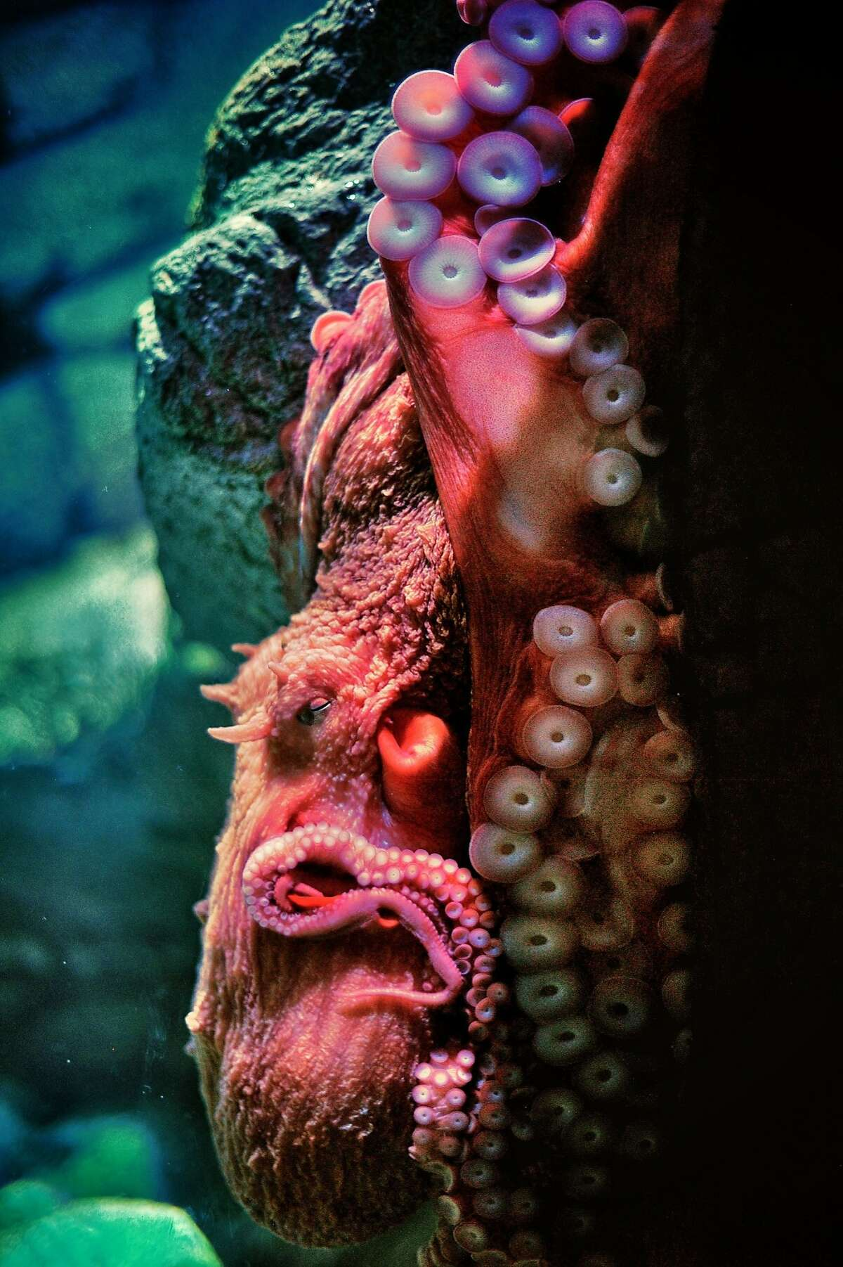 A giant red octopus sleeps in its tank in the