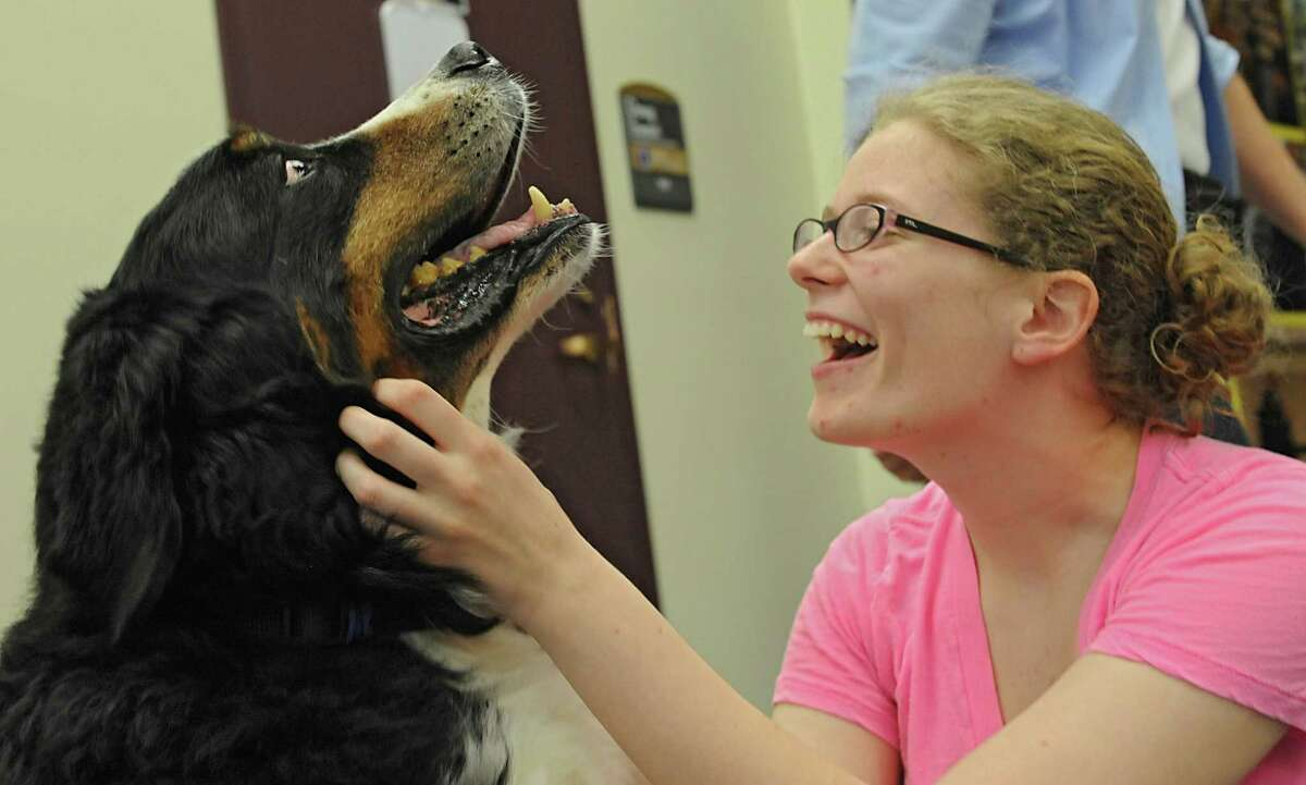 Junior Laura Gallagher of New Hampshire pets Bernese mountain dog Gabriel at the University at Albany on Friday, May 9, 2014, in Albany, N.Y. Gallagher was drawn to this particular dog because she owns one back at home. Local therapy dogs were brought into the campus center to help students ease the stress of final exams. (Lori Van Buren / Times Union)