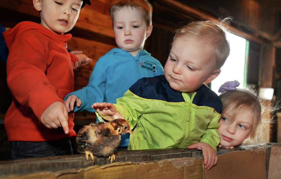 From left, James Synakowski, 3, of Albany, William Volk, 2, of Albany, Silas Massie, 15-months, of Niskayuna and Isla Massie, 4, of Niskayuna play with a 13-day-old chick during Baby Animal Days at Indian Ladder Farms Wednesday, May 14, 2014, in Altamont, N.Y.  (John Carl D'Annibale / Times Union) Photo: John Carl D'Annibale / 00026889A
