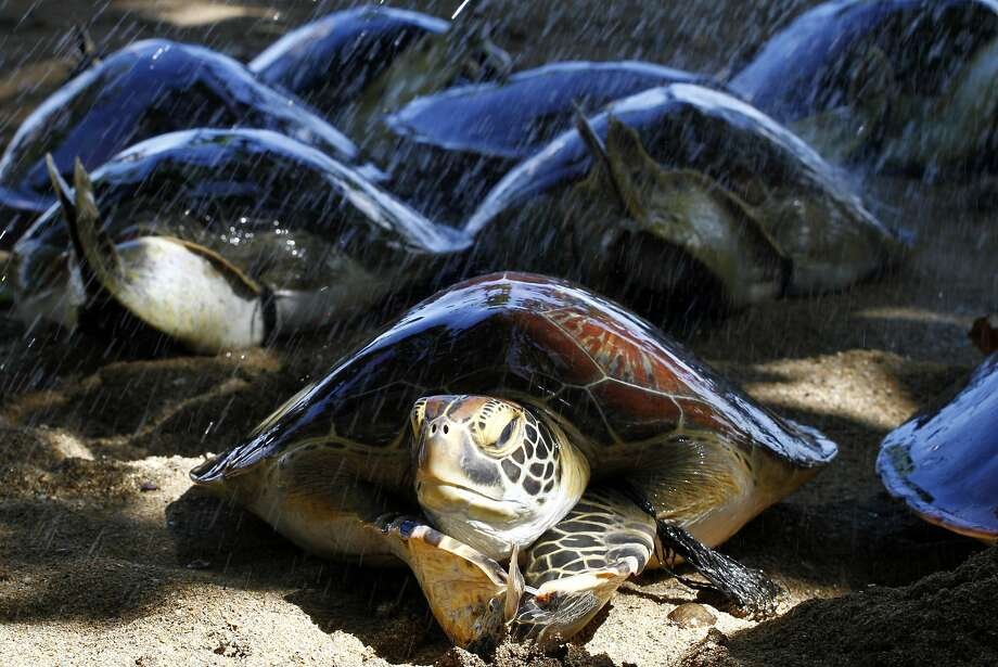 Sea turtles crawl before being returned to the ocean on a beach in Bali, Indonesia, Wednesday, May 14, 2014. With the help of tourists, Bali police released about a dozen turtles which they seized last month from illegal poachers. (AP Photo/Firdia Lisnawati) Photo: Firdia Lisnawati, Associated Press