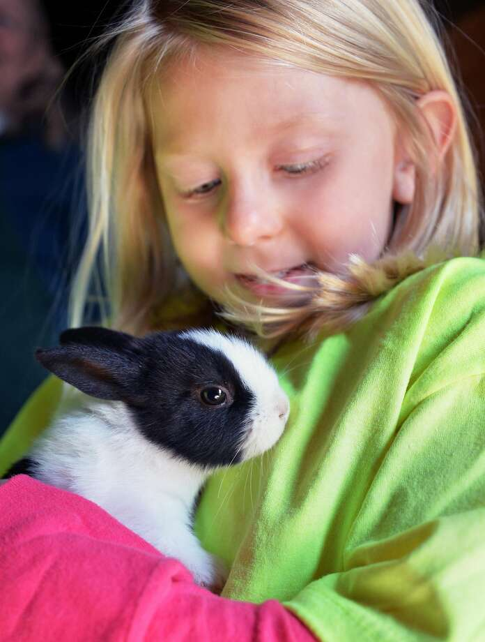 Huggy bunny:Four-year-old Giavana Rossett cuddles a 2-month-old Dutch rabbit during Baby Animal Days at Indian Ladder Farms in Altamont, N.Y. Photo: John Carl D'Annibale, Albany Times Union